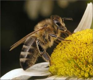 аллергия на укус пчелы что делать