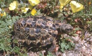 черепаха намаквалендская
